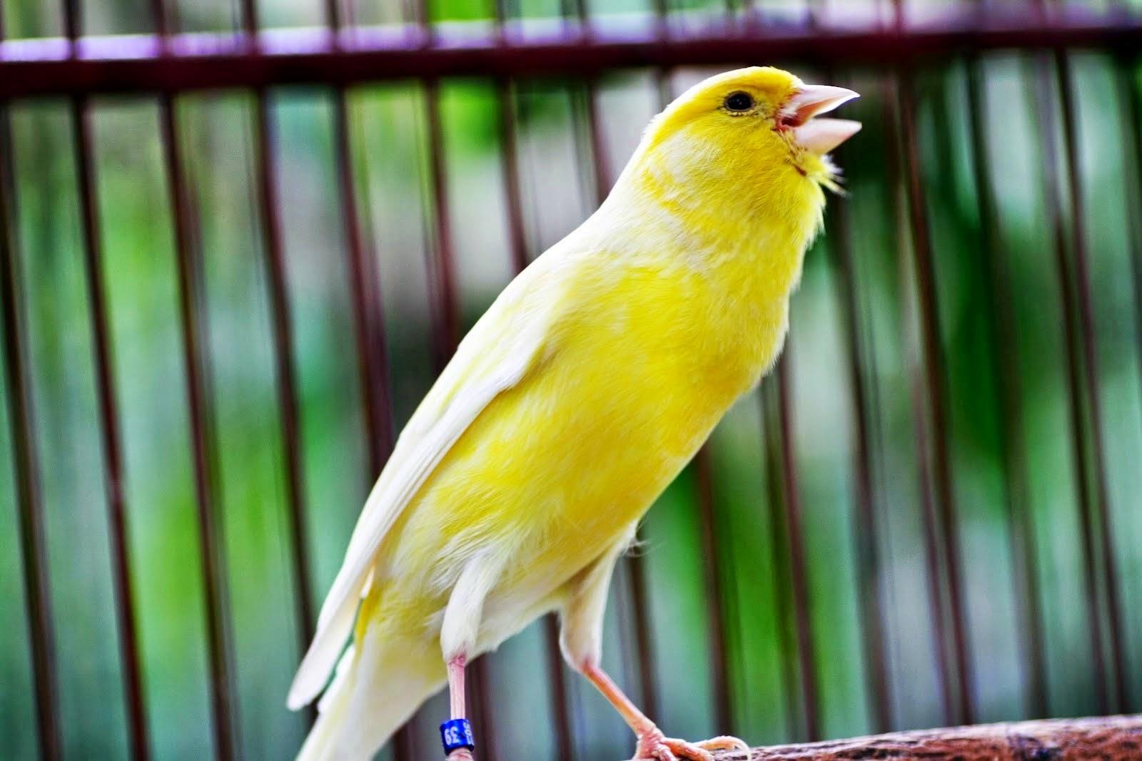 Settingan Burung Kenari Untuk Lomba Kicuit Com