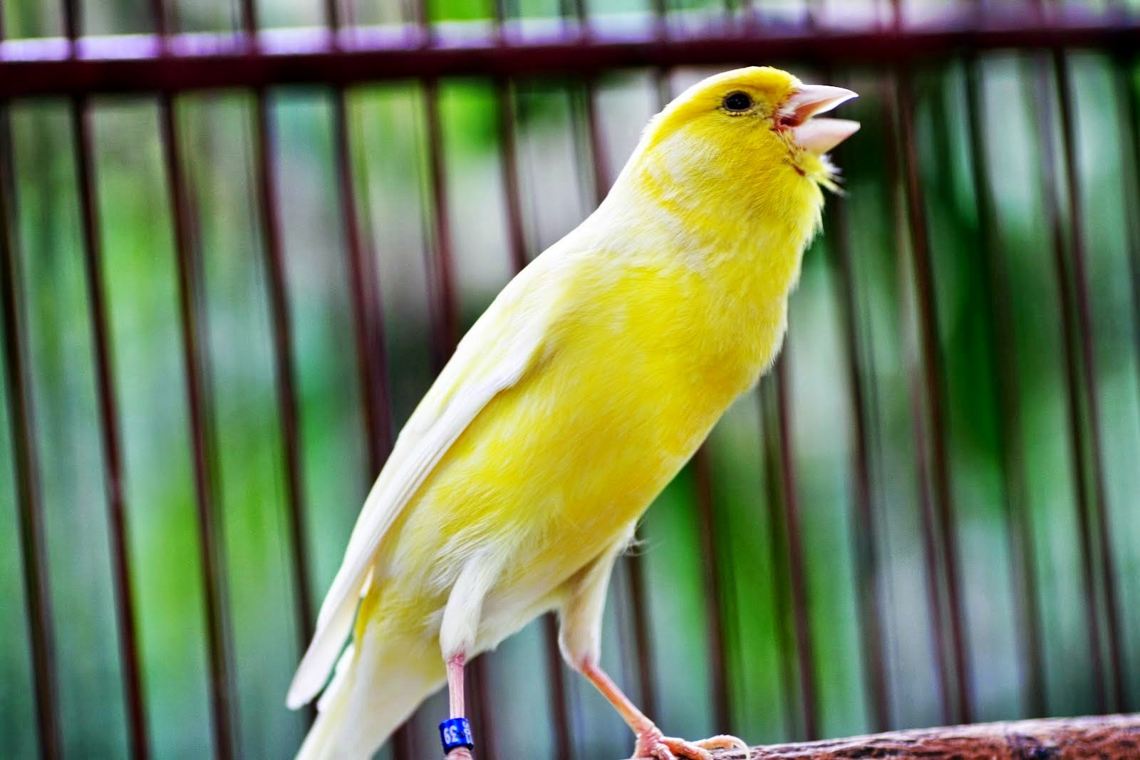 Cara Efektif Agar Suara Burung Kenari Bagus