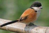 5 Hal Yang Perlu Dihindari Dalam Merawat Burung Cendet