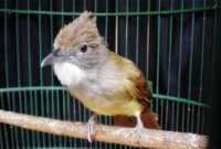 Merawat Burung Cucak Jenggot Agar Gacor Dan Rajin Bunyi