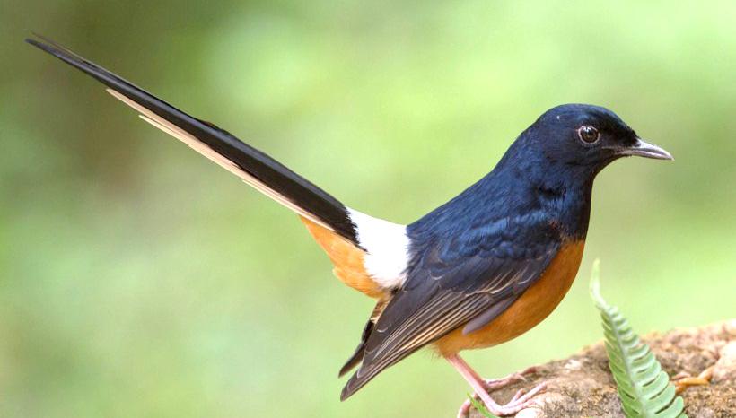 Suara Burung Kicau Murai Batu