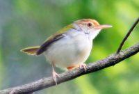 Cara Menggacorkan Burung Ciblek Yang Masih Muda
