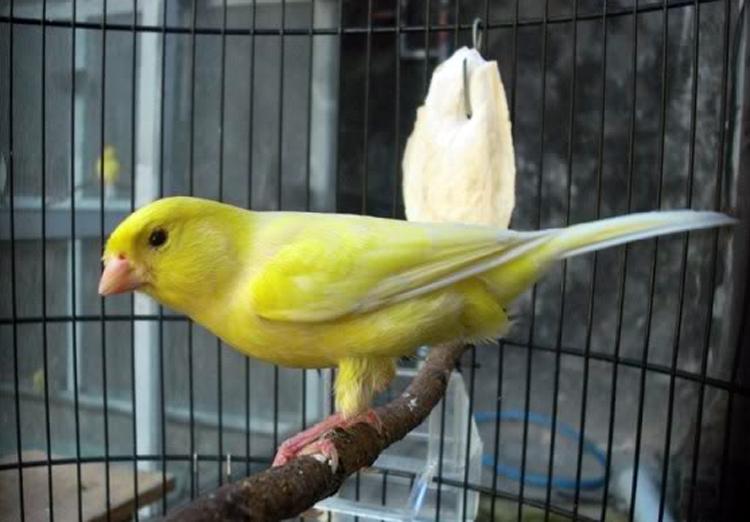 Ciri Jantan dan Betina Burung Kenari