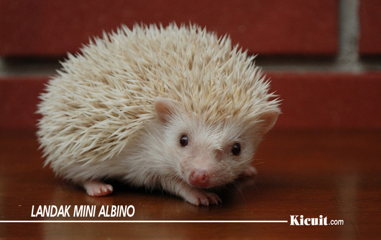 Jenis Landak Mini Albino