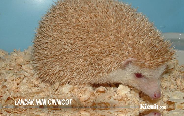 Jenis Landak Mini Cinnicot