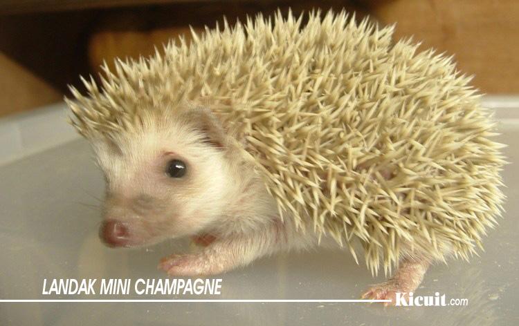 Jenis Landak Mini Champagne