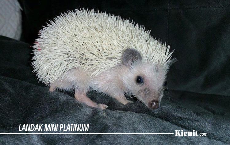 Jenis Landak Mini Platinum