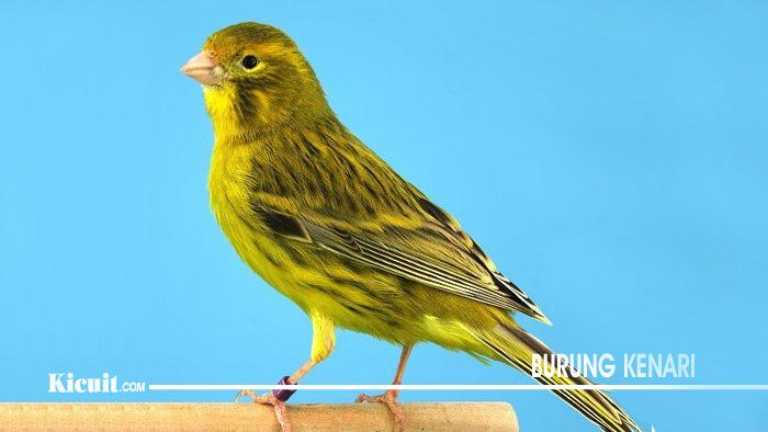 Jenis Biji Dan Sayuran Untuk Makanan Burung Kenari