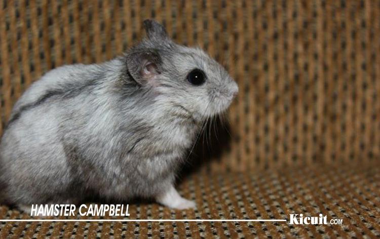 Hamster Campbell - Jenis-Jenis Hamster