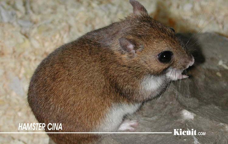 Hamster Cina - Jenis-Jenis Hamster