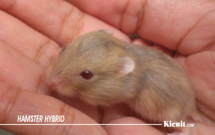 Hamster Hybrid - Jenis-Jenis Hamster