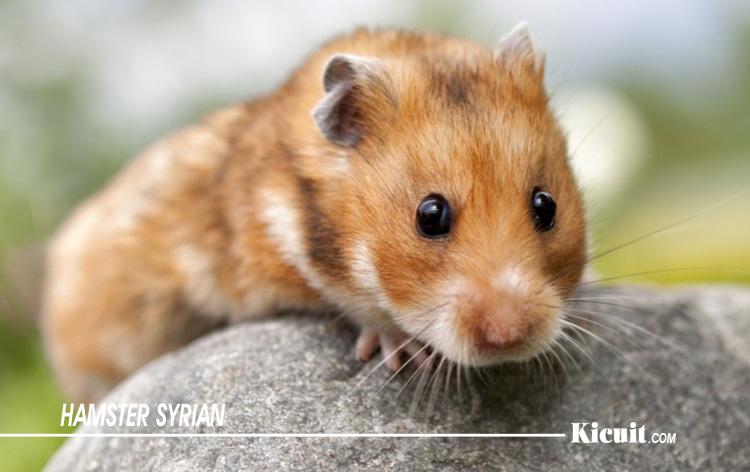 Hamster Syrian - Jenis-Jenis Hamster