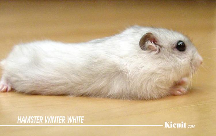 Hamster Winter White - Jenis-Jenis Hamster