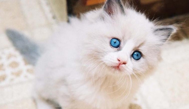 Jenis-jenis Kucing Lucu 1