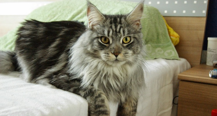 Jenis-jenis Kucing Lucu 4