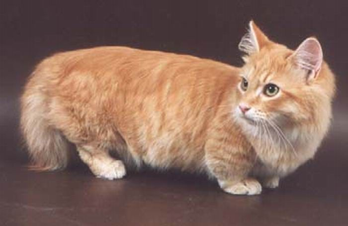 Jenis-jenis Kucing Lucu 6