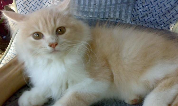 Jenis-jenis Kucing Lucu 2