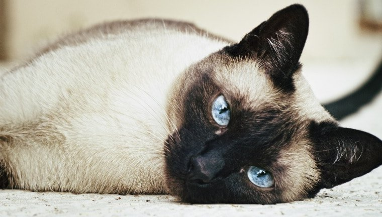 Jenis-jenis Kucing Lucu 5