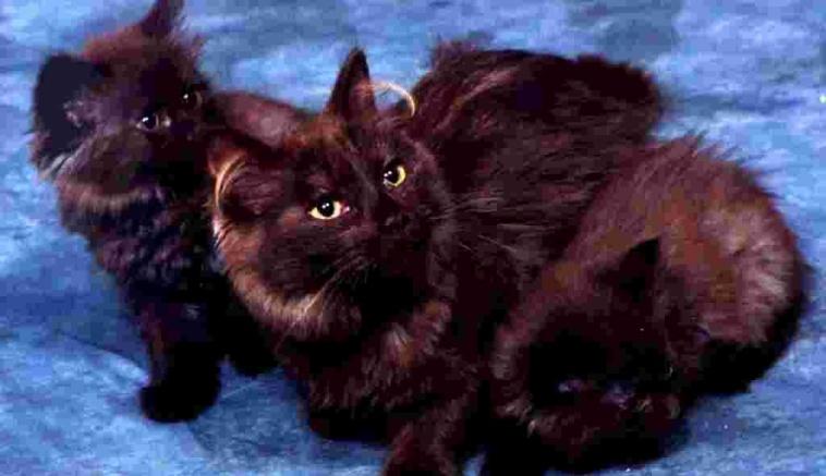 Jenis-jenis Kucing Lucu 3