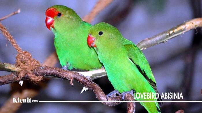 Lovebird Abisinia