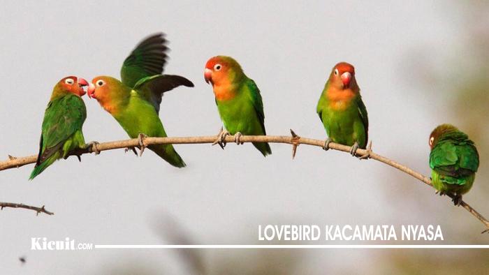 Lovebird Kacamata Nyasa - Jenis Burung Lovebird yang Populer di Indonesia