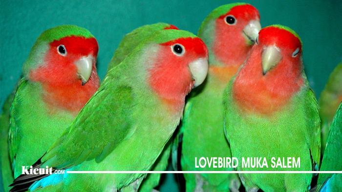 Lovebird Muka Salem - Jenis Burung Lovebird yang Populer di Indonesia