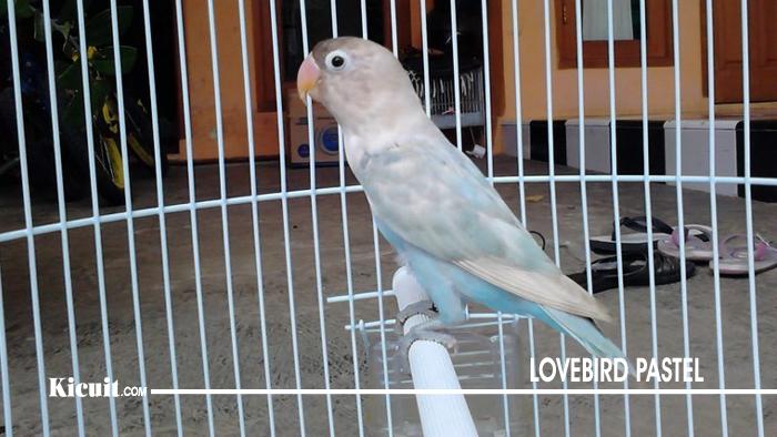 Lovebird Pastel