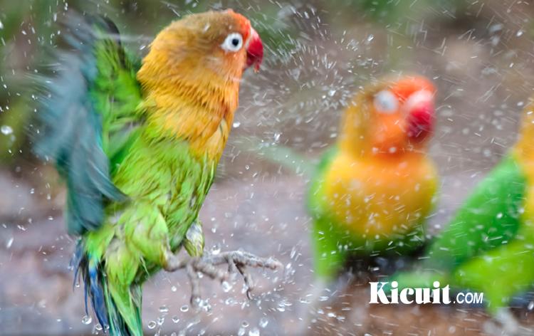 Mengenal 9 Jenis Burung Lovebird Utama Dengan Gambar Lengkap Kicuit Com