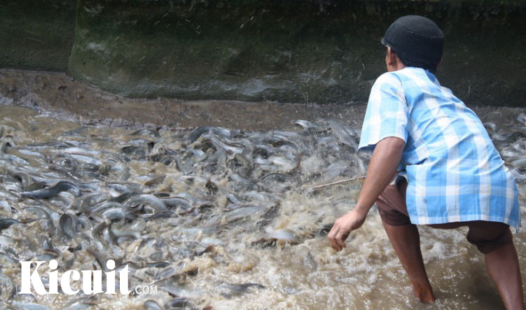Tips Memilih Jenis Pakan Untuk Ikan Lele