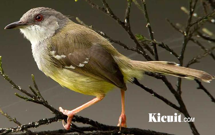 Cara Mudah Budidaya Burung Ciblek Bagi Pemula