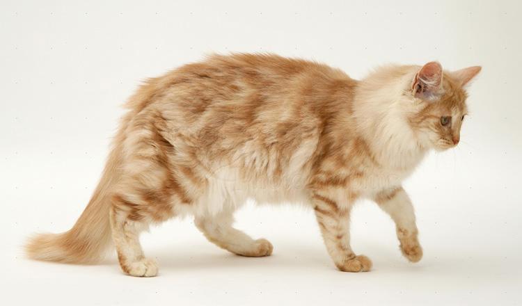 Jenis-jenis Kucing Lucu Yang Perlu Anda Ketahui