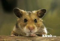 Cara Memelihara dan Merawat Hamster