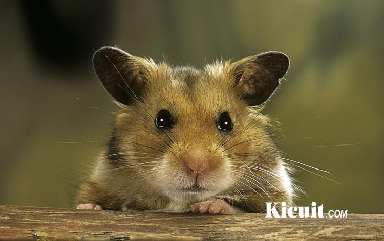 Mengenal Jenis Jenis Hamster2