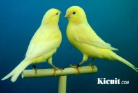 Pakan Ekstra Untuk Burung Kenari