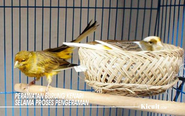 Perawatan Burung Kenari Selama Proses Pengeraman