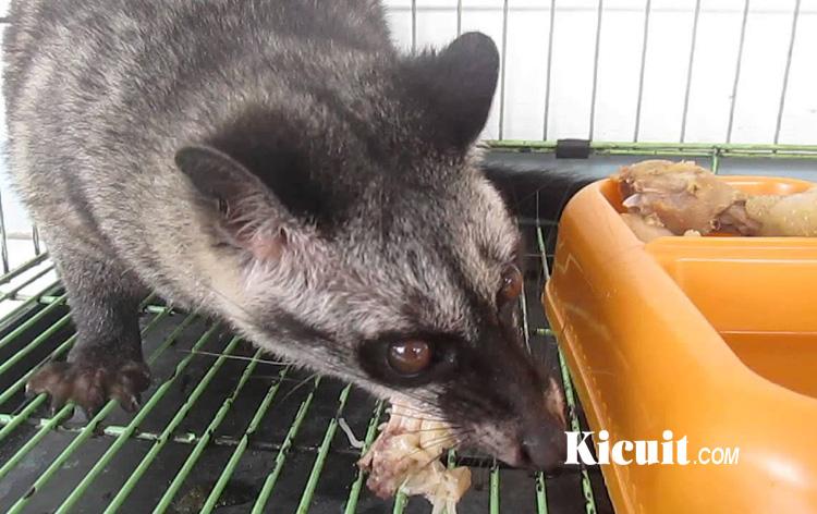 Makanan Musang Pandan Yang Paling Utama