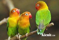 Tips Cara Merawat Burung Lovebird Muda Agar Rajin Bunyi Dan Siap Lomba