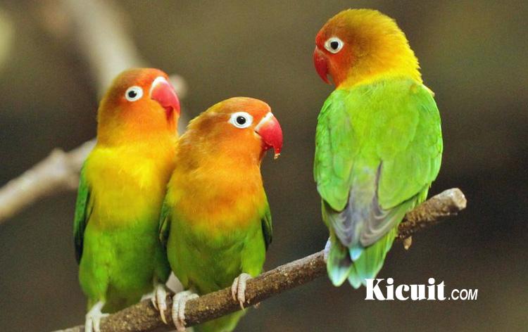 Image Result For Cara Merawat Burung Lovebird Lomba