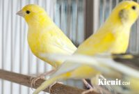 Tips Perawatan Burung Kenari Sebelum Lomba Berkicau