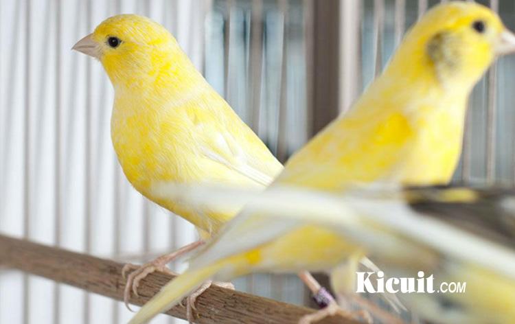 Tips Perawatan Burung Kenari Sebelum Lomba Berkicau Kicuit Com