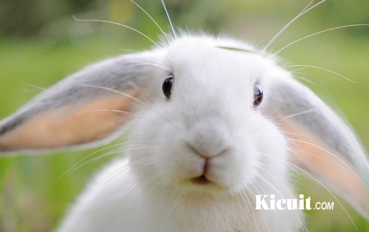 Cara Merawat Kelinci, Kandang Kelinci dan Jenis Makanan Kelinci