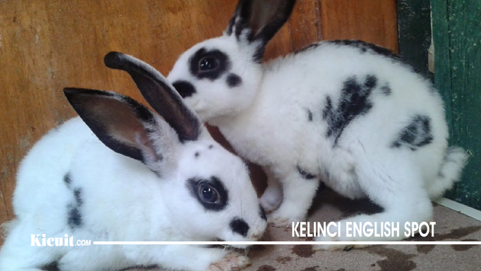 Kelinci English Spot - Jenis Jenis Kelinci yang Paling Populer