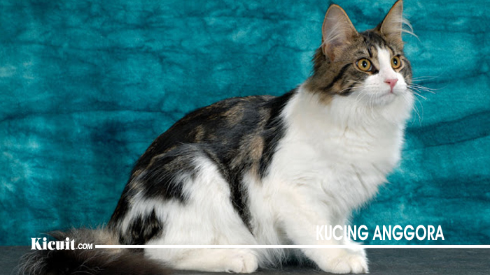 Ciri Ciri Kucing Anggora 4