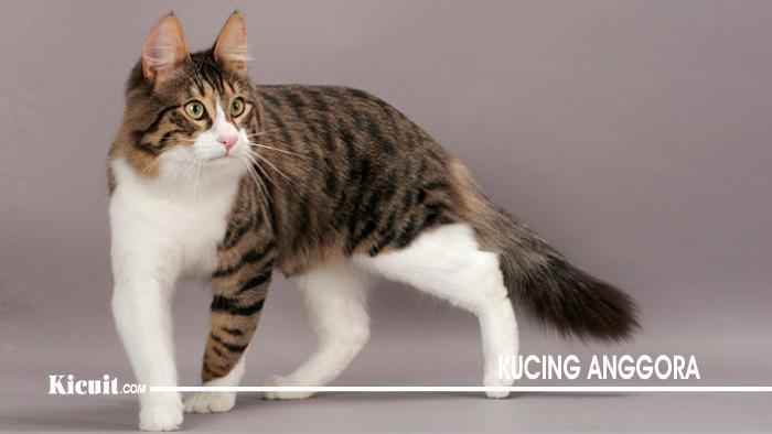 Ciri Ciri Kucing Anggora 5