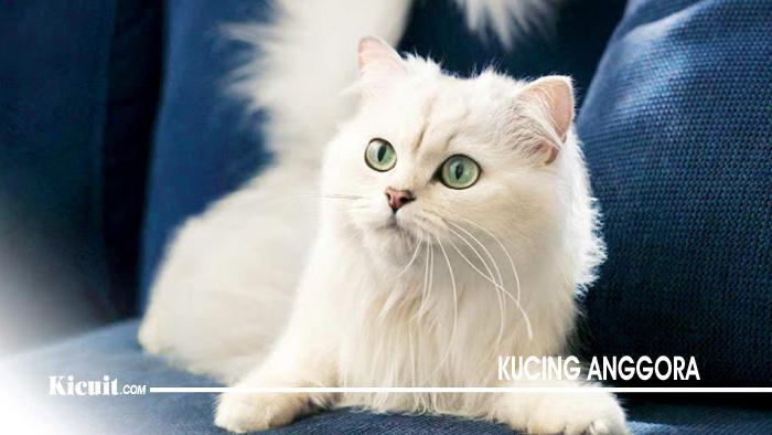 Ciri Ciri Kucing Anggora Beserta Gambar - KICUIT.com