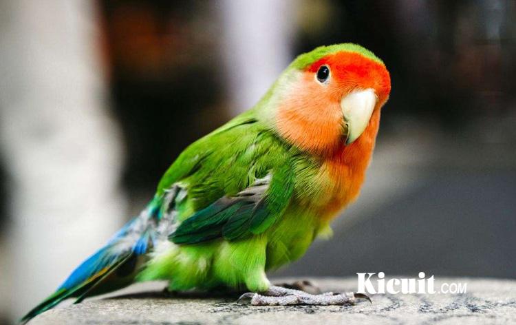 Mengapa Love Bird Sering Mencabuti Bulu Sendiri