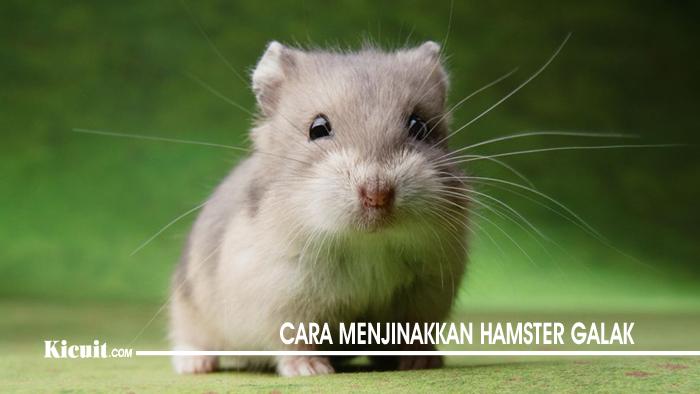Cara Menjinakkan Hamster Galak