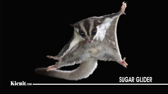 Cara Memelihara Sugar Glider Tupai Terbang Kicuit Com