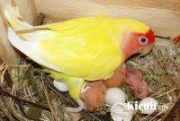 Panduan Mudah Beternak Lovebird