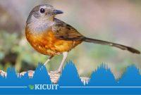 Suara Burung Murai Batu Buat Masteran